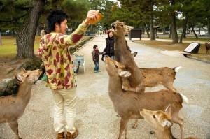 daims affamés, Nara