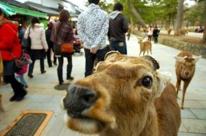 le daim et les touristes, Nara