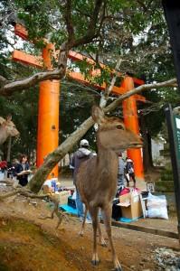 daim et torii
